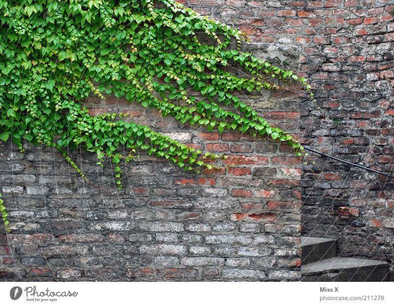 tendril Plant Ivy Leaf Old town Castle Ruin Wall (barrier) Wall (building) Facade Growth Decline Transience Tendril Colour photo Exterior shot Deserted