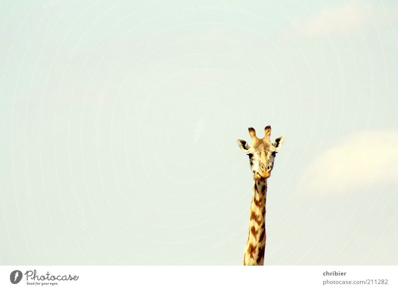 Son´n Neck! Ear Antlers Animal Sky Zoo Giraffe 1 Observe Thin Large Long Funny Curiosity Above Blue Brown Yellow Serene Calm Freedom Nature Pride