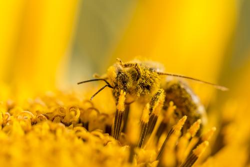 Macro honey bee collects yellow pollen on sunflower in nature Summer Sun Sunbathing Environment Nature Landscape Plant Animal Sunlight Spring Autumn Climate