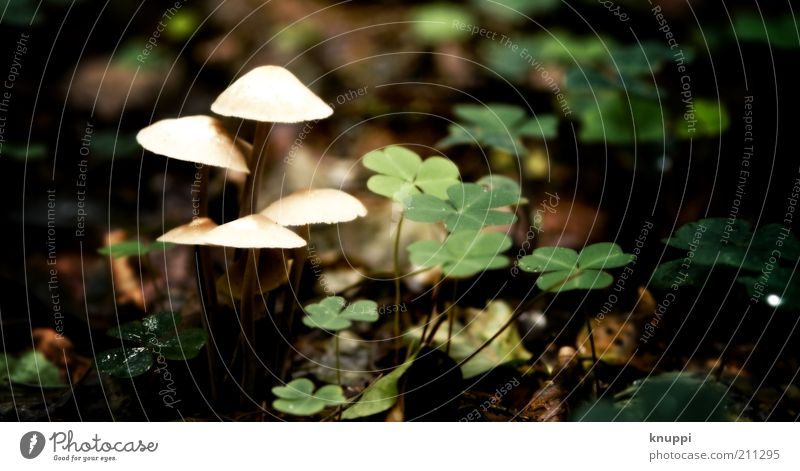 Nature White Green Plant Calm Leaf Environment Growth Mushroom Clover Clearing Cloverleaf Woodground Mushroom cap Shadow