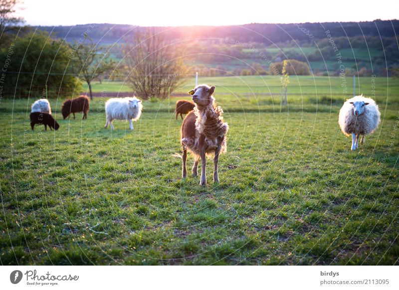 fashion show Agriculture Forestry Landscape Sunlight Summer Beautiful weather Meadow Pasture Farm animal Sheep Herd To feed Looking Funny Sustainability Natural
