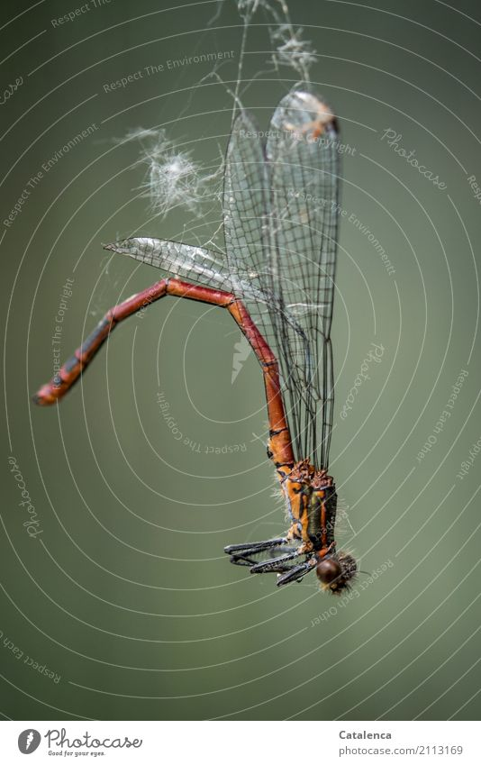 NO INCOME. Summer Garden Meadow Dead animal Dragonfly Large red damselfly Insect 1 Animal Spider's web Hang To dry up Gloomy Brown Gray Green Orange Moody Fear