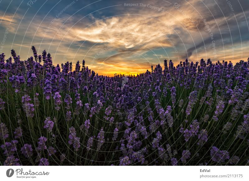 lavender fields Herbs and spices Fragrance Spa Summer Sun Garden Nature Landscape Plant Sky Clouds Horizon Flower Blossom Moody Colour agriculture aromatherapy