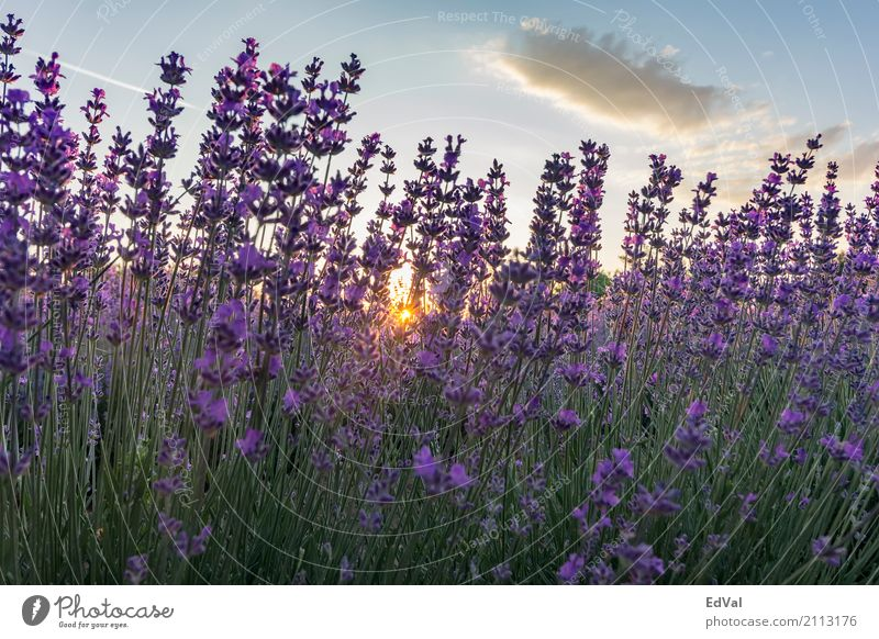 lavender Herbs and spices Fragrance Spa Summer Sun Garden Nature Landscape Plant Sky Clouds Horizon Flower Blossom Moody Colour agriculture aromatherapy