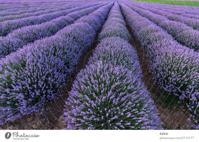 lavender fields Herbs and spices Fragrance Spa Summer Garden Nature Landscape Plant Sky Clouds Horizon Flower Blossom Moody Colour agriculture aromatherapy