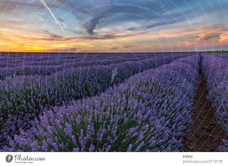 At sunset Herbs and spices Fragrance Spa Summer Garden Nature Landscape Plant Sky Clouds Horizon Flower Blossom Moody Colour agriculture aromatherapy Bulgaria