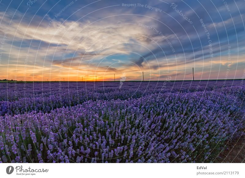lavender fields at sunset Herbs and spices Organic produce Fragrance Spa Summer Garden Nature Landscape Plant Sky Clouds Horizon Flower Blossom Moody Colour