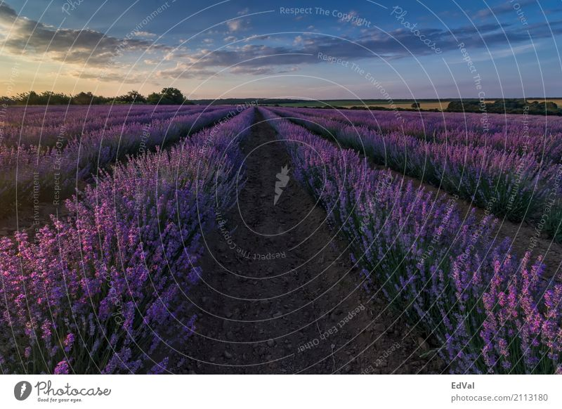 sunset at lavender field Herbs and spices Fragrance Spa Summer Garden Nature Landscape Plant Sky Clouds Horizon Flower Blossom Moody Colour agriculture