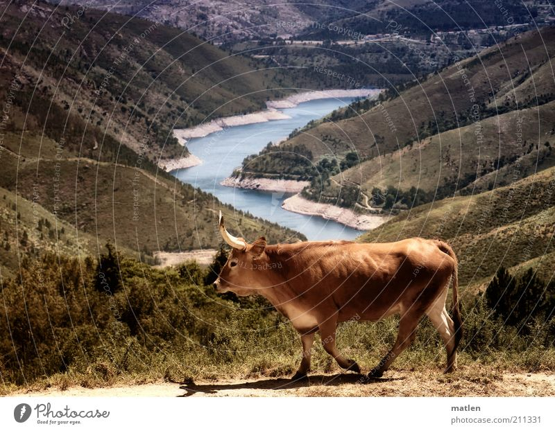 Water Summer Animal Far-off places Grass Mountain Lake Landscape Brown Coast Going Bushes Hot Cow Dry Lakeside