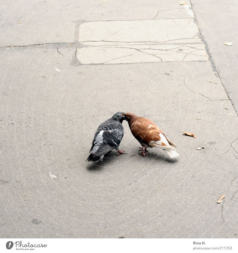 Love Animal Emotions Gray Brown Together Bird Pair of animals Concrete Kissing Asphalt Passion Lust Pigeon Attachment Desire