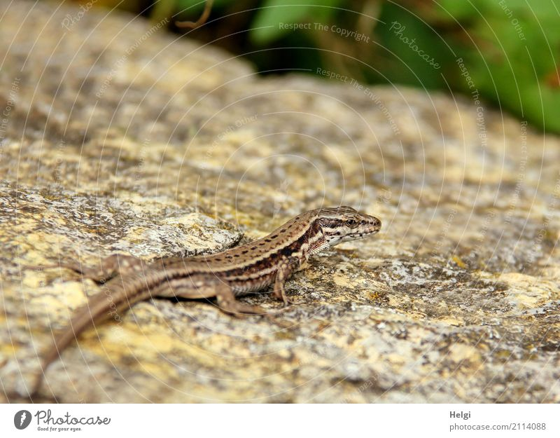 Encounter ... Environment Animal Summer Beautiful weather Garden Wild animal Lizards 1 Stone Observe Looking Wait Uniqueness Small Natural Brown Gray Green