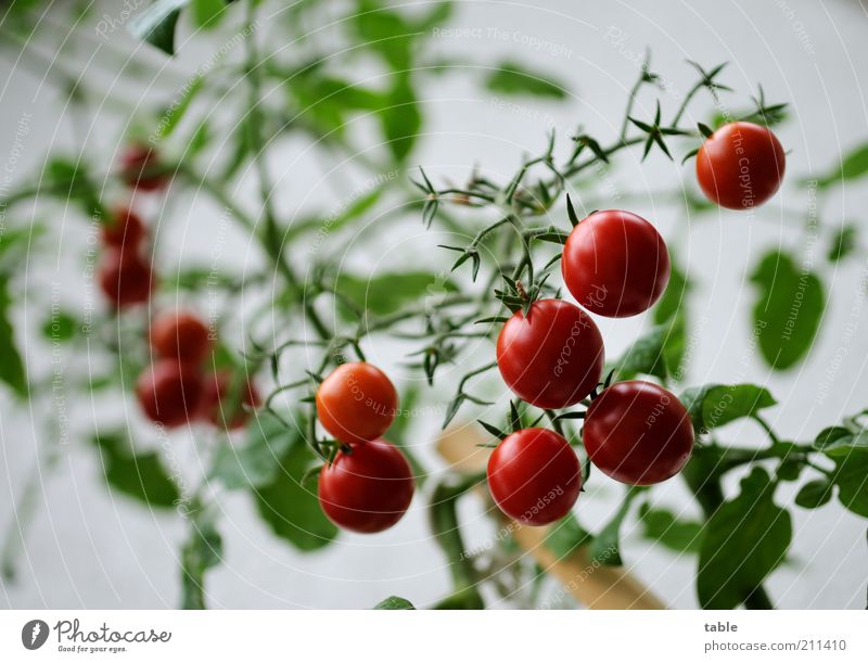Green Plant Red Glittering Food Growth Round Pure Natural Vegetable Fragrance Mature Hang Tomato Organic produce Juicy