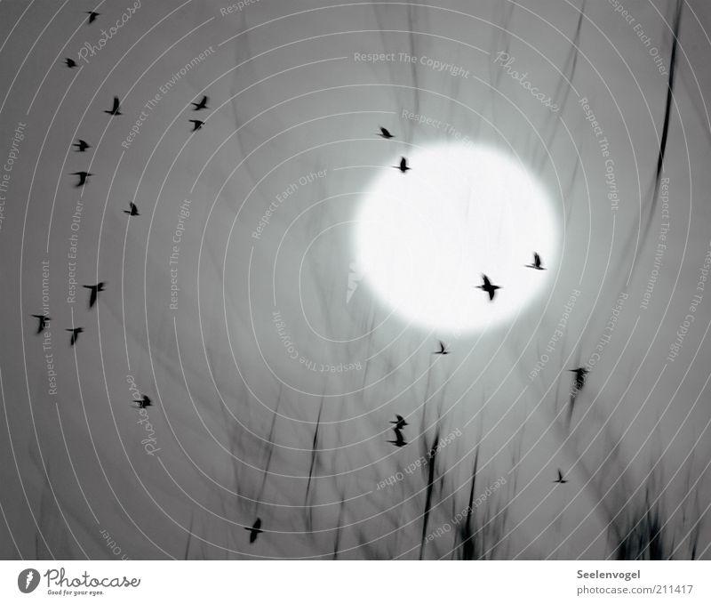 Nature Animal Movement Gray Moody Bird Fog Flying Circle Wild animal Illuminate Many Moon Night sky Twig Eerie