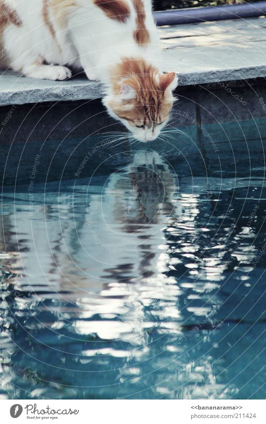 Water Blue Animal Cat Drinking water Drinking Animal face Mirror Pond Pet Mirror image Thirst Domestic cat Whisker Surface of water Thirsty