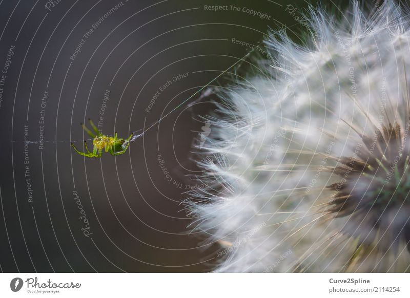 itsy bitsy spider Nature Animal Spider 1 Hang String Crawl Dandelion Flower Macro (Extreme close-up) Green Detail Forest Spin Spider's web Soft Insect Yellow
