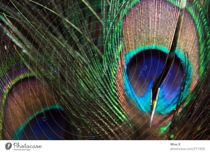 peacock feather Animal Wing Zoo Petting zoo Illuminate Esthetic Glittering Peacock Peacock feather Feather Colour photo Multicoloured Close-up