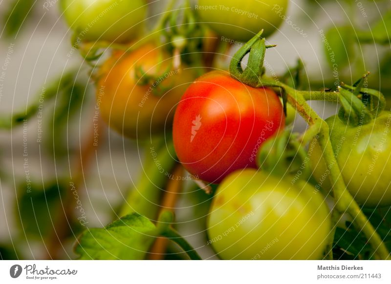 Green Summer Red Plant Environment Healthy Food Growth Nutrition Bushes Vegetable Delicious Mature Tomato Vitamin Immature