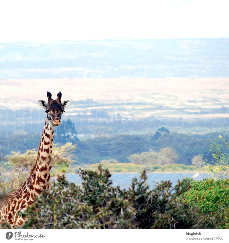 Giraffe II Safari Nature 1 Animal Contentment Africa Kenya Watchfulness Colour photo Subdued colour Exterior shot Panorama (View) Looking into the camera Plant