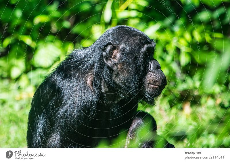 Monkey in portrait from the side Nature Plant Tree Animal Monkeys Chimpanzee 1 Breathe Crouch Looking Sit Dream Old Green Black Colour photo Exterior shot