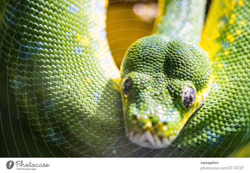 Beautiful Green Eroticism Animal Yellow Elegant Esthetic Observe Romance Threat Exotic Hang Aggression Lust Smart Snake
