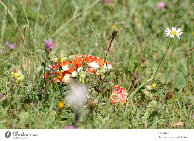 Nature Beautiful White Flower Plant Red Summer Meadow Blossom Grass Happy Funny Small Dangerous Smoking Fragrance