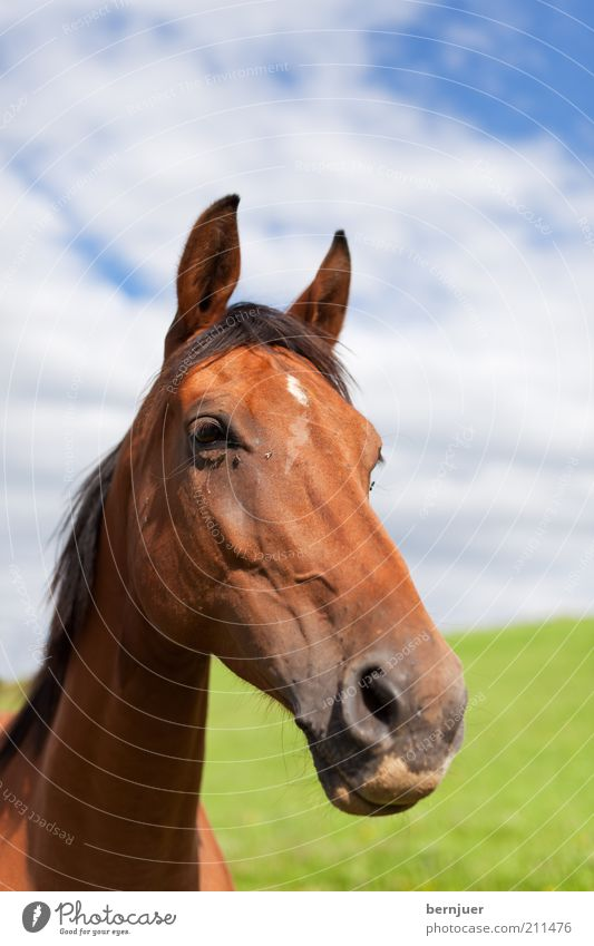 long face Horse Head Animal Brown Summer Inland Mane Green Long Nose Mammal Meadow Pasture Sky Clouds Day Animal portrait Horse's head Nostrils