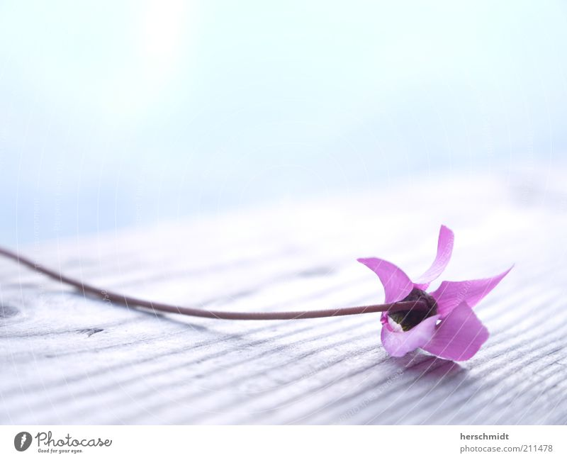 Nature Beautiful Flower Plant Blossom Spring Bright Small Pink Violet Delicate Natural Fragrance Exotic Ease Fragile