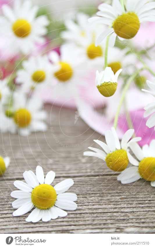 chamomile Plant spring Summer bleed Lie Yellow White Camomile blossom Chamomile wood Medicinal plant natural Fragrance already Herbs and spices Many To fall Air
