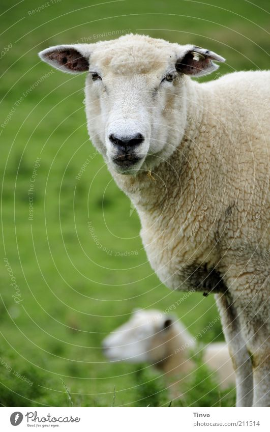 Sheep looks into camera Pet Farm animal 2 Animal Natural Dike Down-to-earth Interest Stand Looking Ear Pasture Sheepskin Animal face Muzzle Nose Eyes 1 Blur