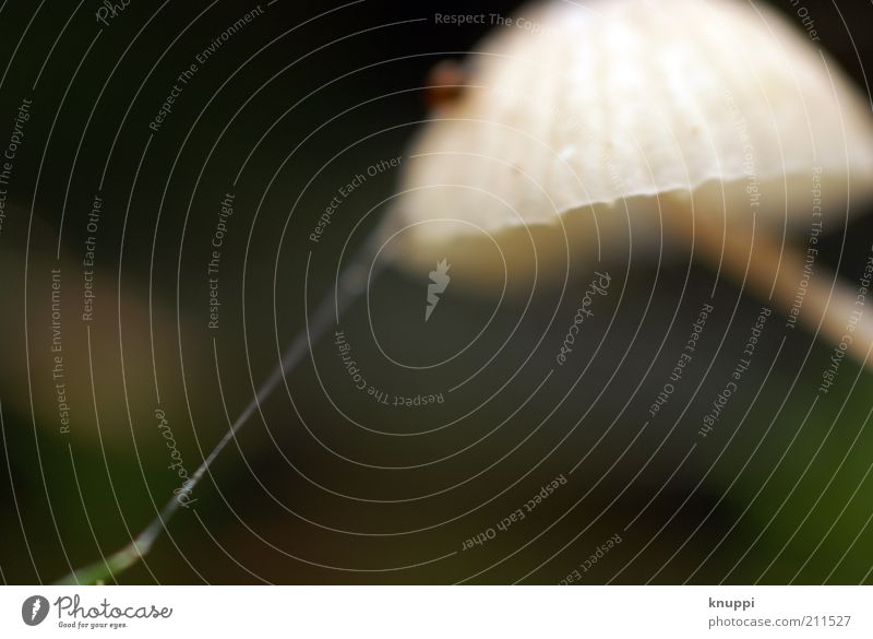 At the silk thread Mushroom Mushroom cap Environment Nature Animal Earth Autumn Beautiful weather Spider Spider's web Stand Growth Brown Green White Thread-like