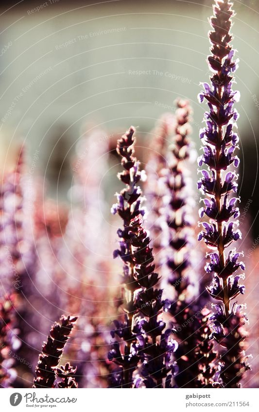 flooded with light Environment Nature Plant Flower Blossom Exotic Summer Light Back-light Summery Violet Dusk Herbs and spices Subdued colour Exterior shot