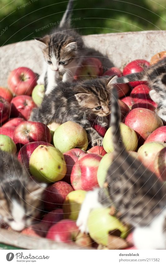 les chatons et les pommes . Apple Nature Animal Pet Cat Group of animals Baby animal Animal family Wheelbarrow Crawl Romp Natural Cute Brown Multicoloured Green