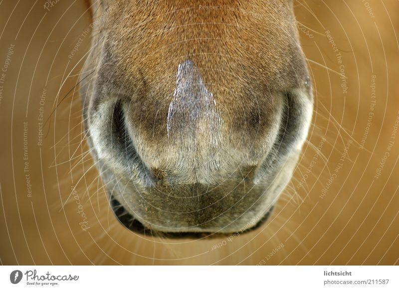 horsy horns Lips Pelt Animal Horse Animal face Pony Nostrils Snout Muzzle Iceland Pony Brown Whisker Tiny hair Senses Colour photo Close-up Detail
