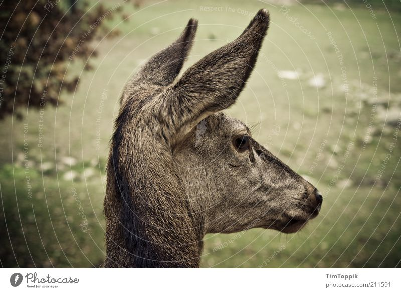 Green Animal Head Environment Ear Animal face Delicate Wild animal Cute Timidity Innocent Roe deer Vignetting Profile Baby animal