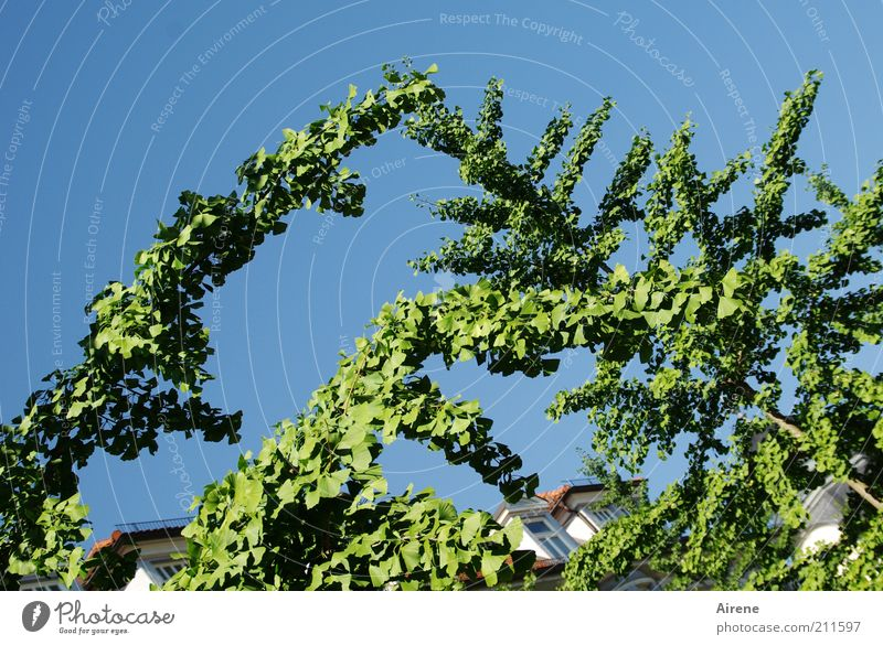 Invitation to dance Summer Plant Cloudless sky Beautiful weather Tree Branch House (Residential Structure) Window Roof Touch Growth Esthetic Elegant Natural