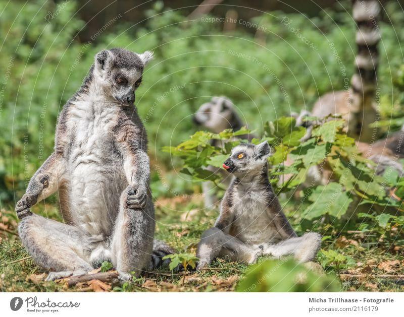 Naughty child Child Infancy Tongue Nature Animal Sun Plant Wild animal Animal face Pelt Paw Monkeys Ring-tailed Lemur Half-apes 4 Group of animals Baby animal