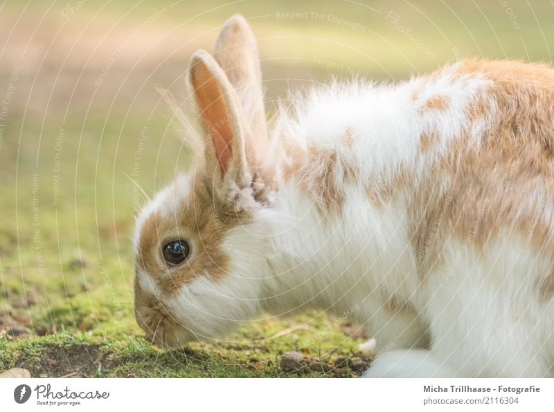 Dwarf rabbits on the meadow Nature Animal Sun Sunlight Beautiful weather Grass Foliage plant Meadow Pet Animal face Pelt Paw Hare & Rabbit & Bunny Pygmy rabbit