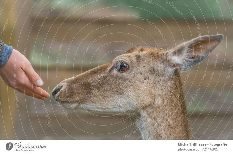 love of animals Human being Hand Nature Animal Sun Sunlight Beautiful weather Wild animal Animal face Pelt Roe deer Eyes Ear 1 Touch Feeding Looking