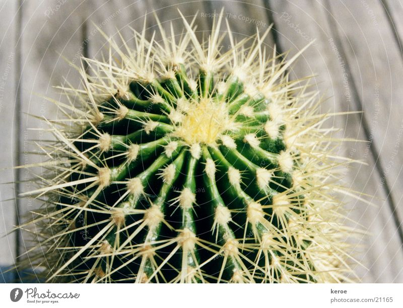 Green Wood Cactus Thorn