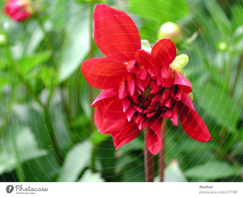 Flower Red Blossom