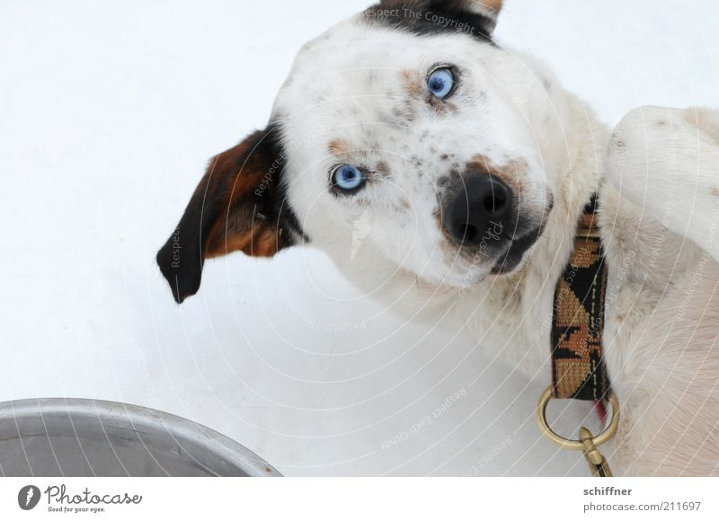 Food? Pet Dog 1 Animal Lie Friendliness Astute Funny Enthusiasm Beg Desire Looking Squint Husky Feed Dog collar Bird's-eye view Neckband Dog's snout Subdue