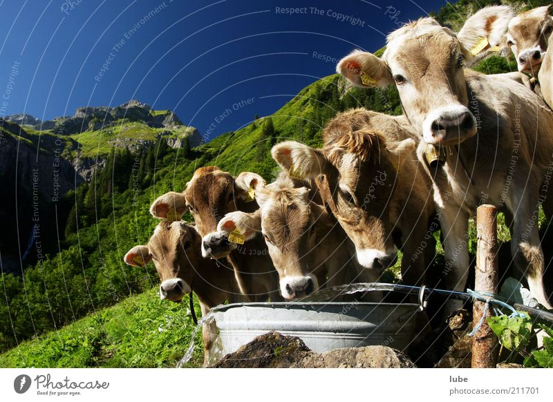 We congratulate Vacation & Travel Mountain Environment Nature Landscape Water Cloudless sky Summer Beautiful weather Alps Animal Farm animal Cow Animal face