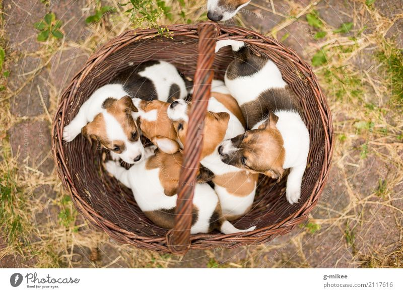 puppies Animal Pet Dog Group of animals Curiosity Cute Warm-heartedness Life Puppy Cuddling Basket Baby Jack Russell terrier Offspring Birth Colour photo