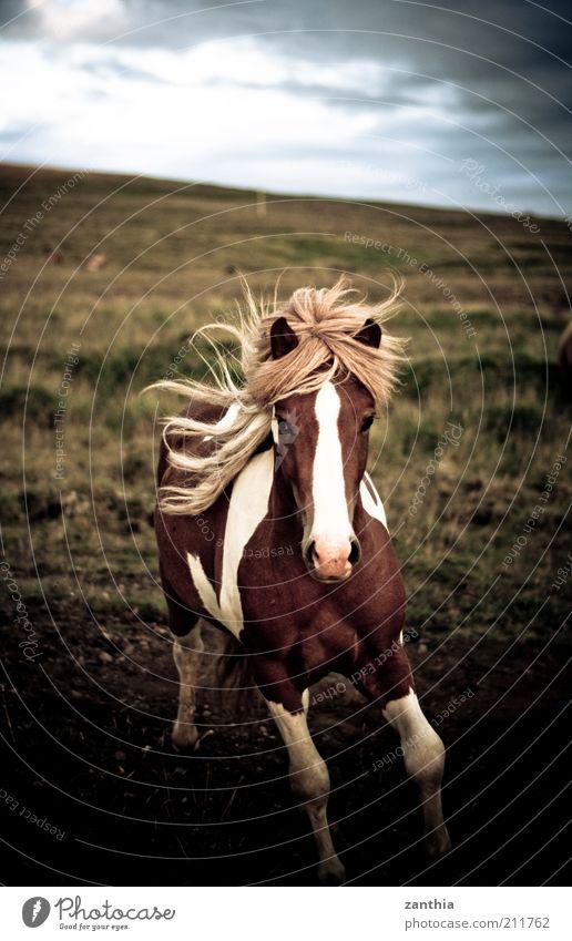 wild Animal Wild animal Horse 1 Running Esthetic Blonde Brown White Power Passion Love of animals Life Adventure Movement Leisure and hobbies Nature