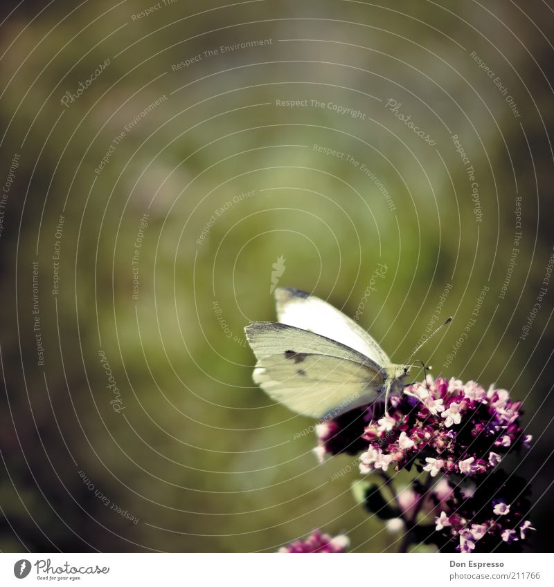 Pieris brassicae in the garden Summer Nature Plant Animal Spring Flower Blossom Park Meadow Butterfly Wing Blossoming Fragrance To feed To enjoy Sit