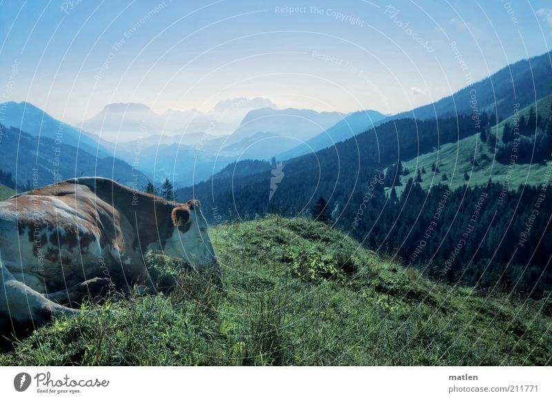 Green Blue Animal Contentment Cow Pasture To feed Grassland Valley Mountain Peaceful Mountain range Farm animal