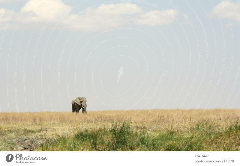 Hey, kid! Come here. Nature Landscape Sky Horizon Grass Savannah Serengeti Zoo Elephant Trunk Tusk Ivory 1 Animal Going Stand Threat Fat Far-off places Free