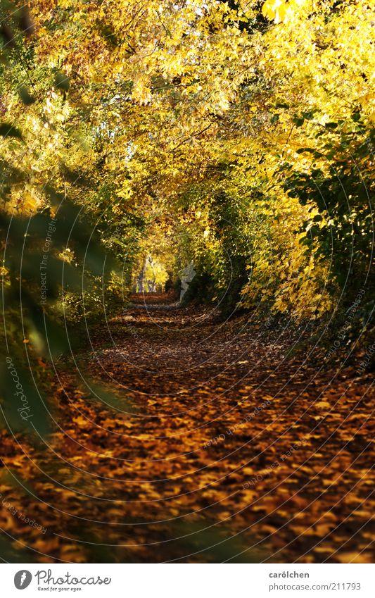 leaf tunnels Nature Landscape Tree Park Forest Brown Yellow Gold Autumn Leaf canopy Lanes & trails Promenade Autumnal colours Colour photo Exterior shot