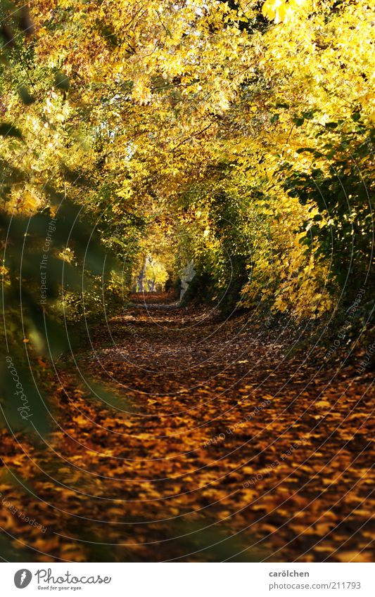 Nature Tree Yellow Forest Autumn Lanes & trails Park Landscape Brown Gold Autumn leaves Promenade Leaf Autumnal Autumnal colours Leaf canopy