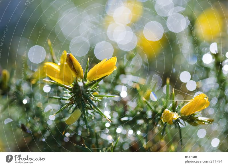 Nature Beautiful Flower Plant Summer Yellow Glittering Wet Fresh Bushes Exceptional Blossoming Illuminate Damp Dew Thorny